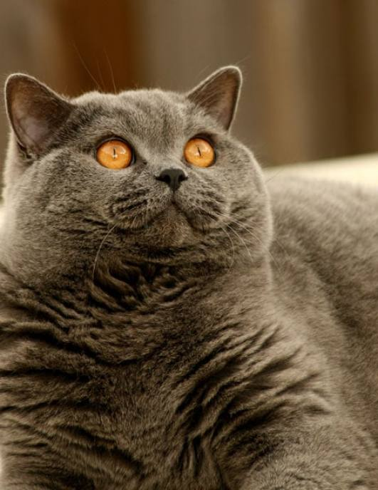 British Shorthair Cat at The Great Cat Store