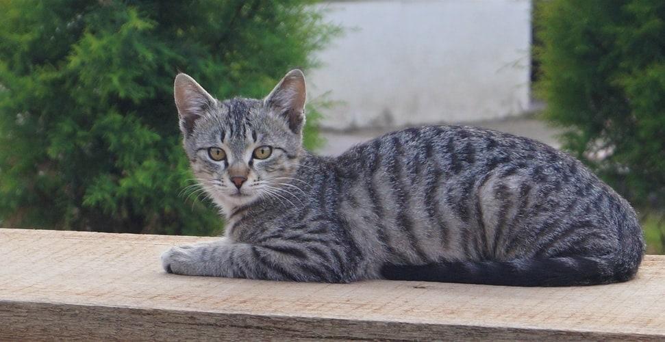 mackerel tabby cat at The Great Cat Store