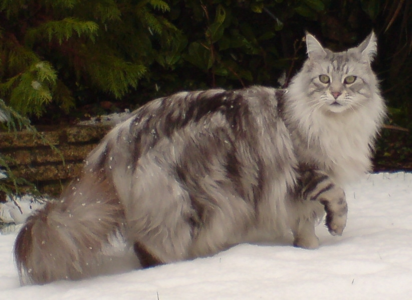 Maine Coon Cat at The Great Cat Store