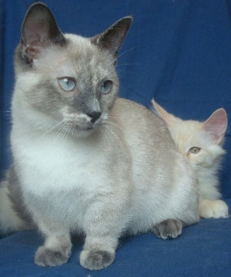 Munchkin Cat at The Great Cat Store-15 most popular cat breeds