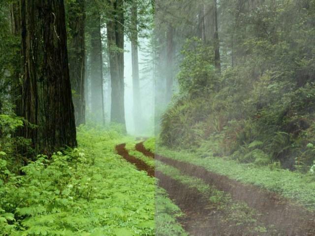 Chemin forestier à Redwoods State Park (Californie).