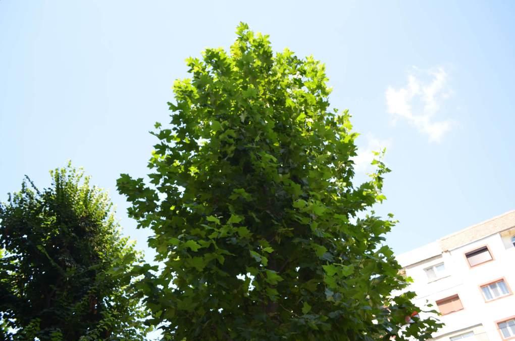 copac ramnicu sarat