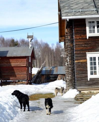 Våryre springer hundene rundt i snøsørpa