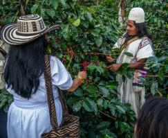 The indigenous peoples practice the planting of organic coffee beans in harmony with nature