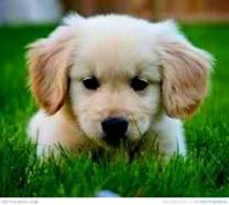 1356795432-cute-miniature-golden-retriever-puppy