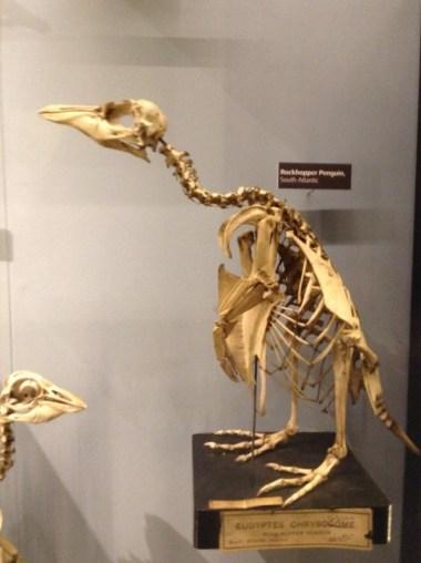 Rockhopper penguin, Nature's Library, Manchester Museum