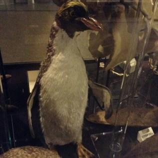 Rockhopper penguin, Living Worlds, Manchester Museum