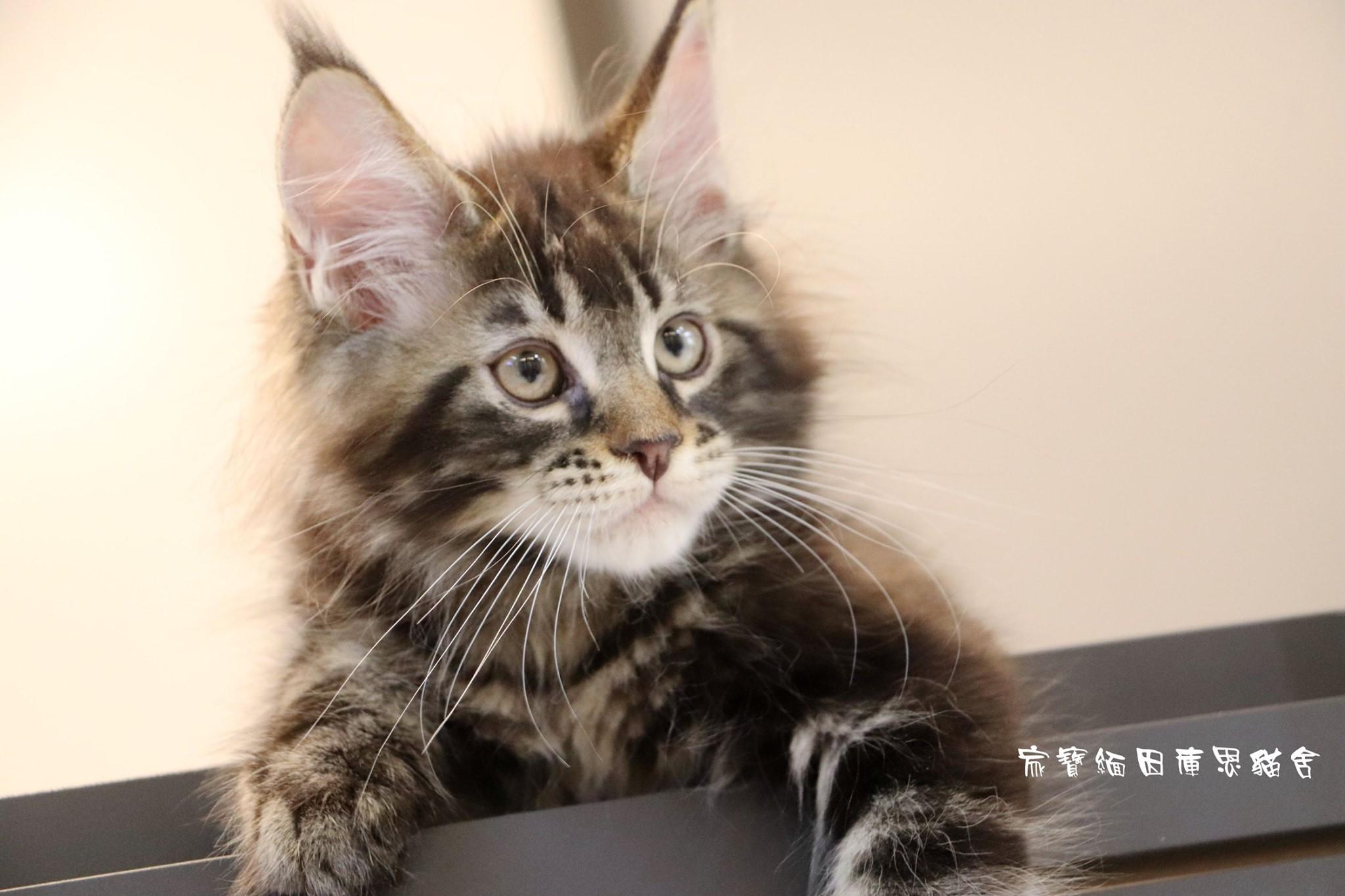 家寶寵物/虎斑色緬因貓