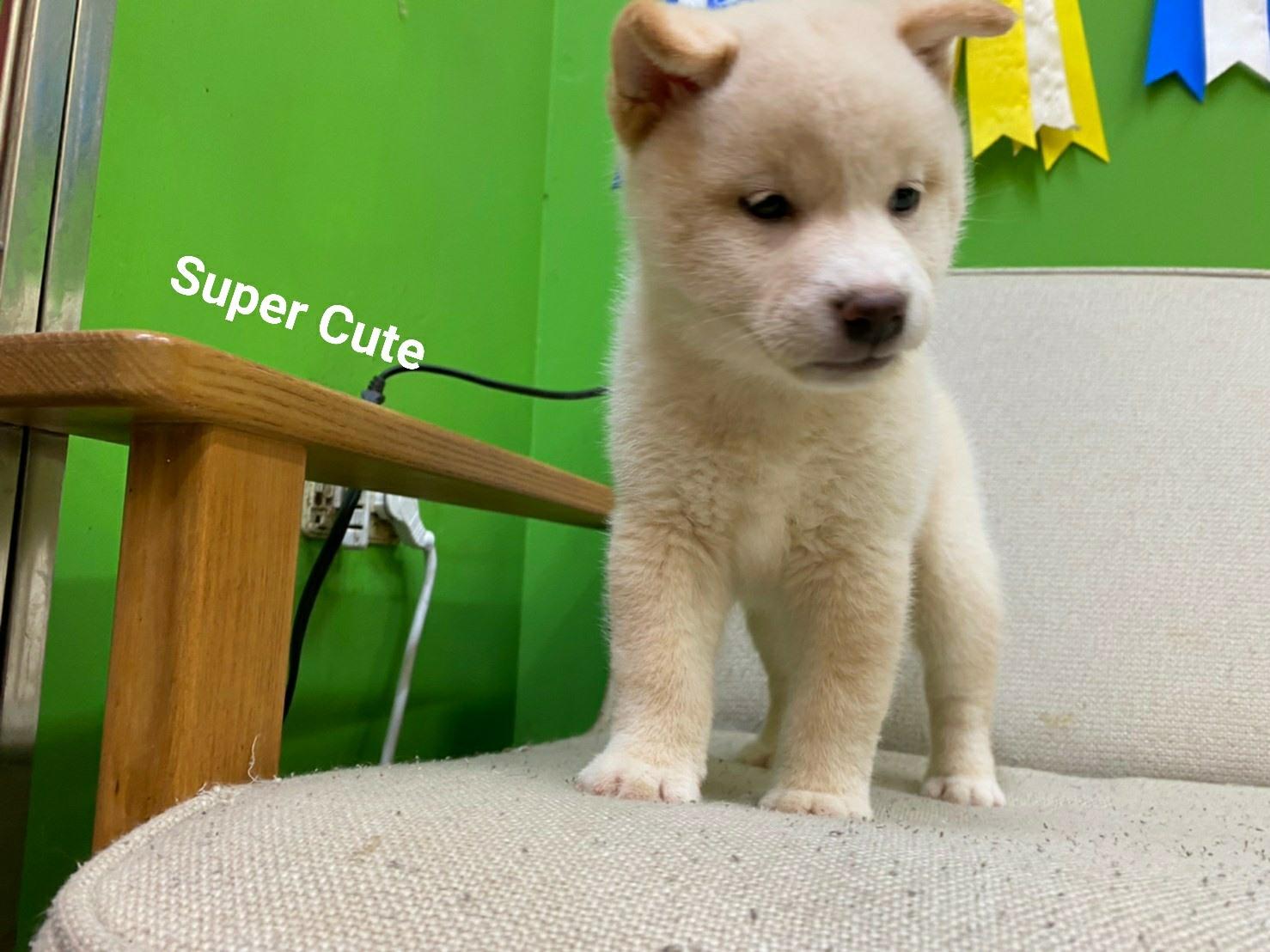 超可愛名犬社/超可愛的白柴shiba