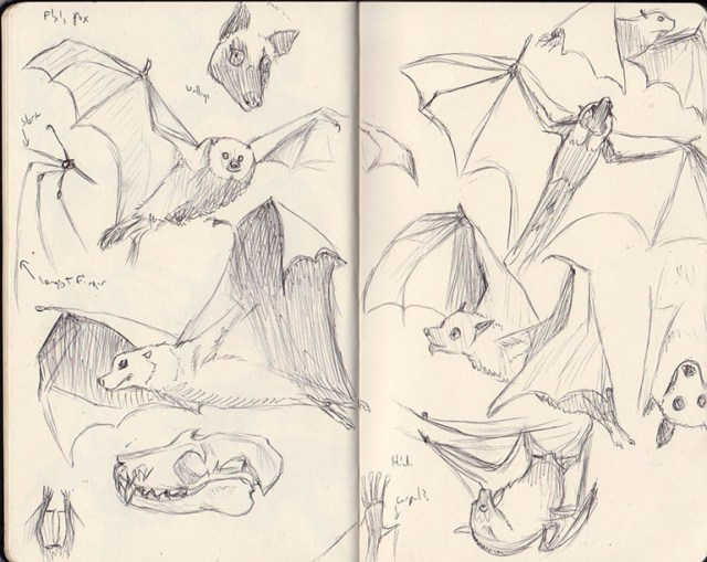 Malaysian Flying Fox Sketches