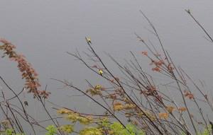 goldfinch flock in a tree