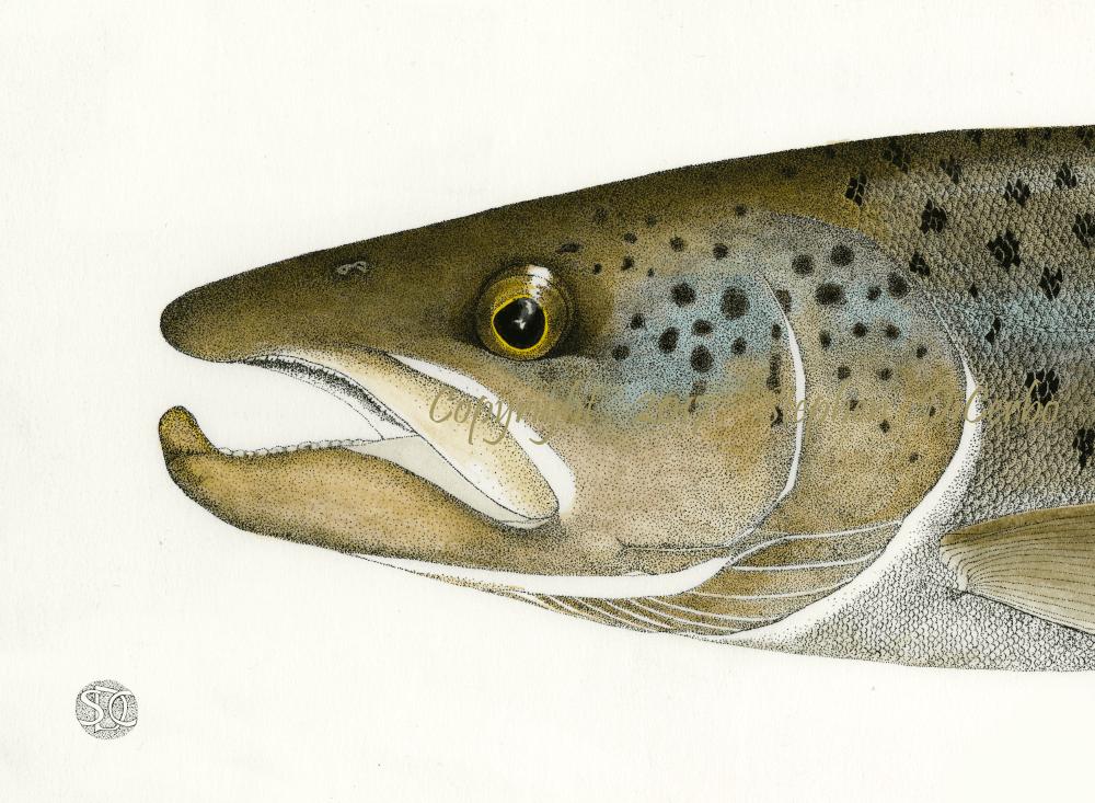 Landlocked Atlantic Salmon Head study