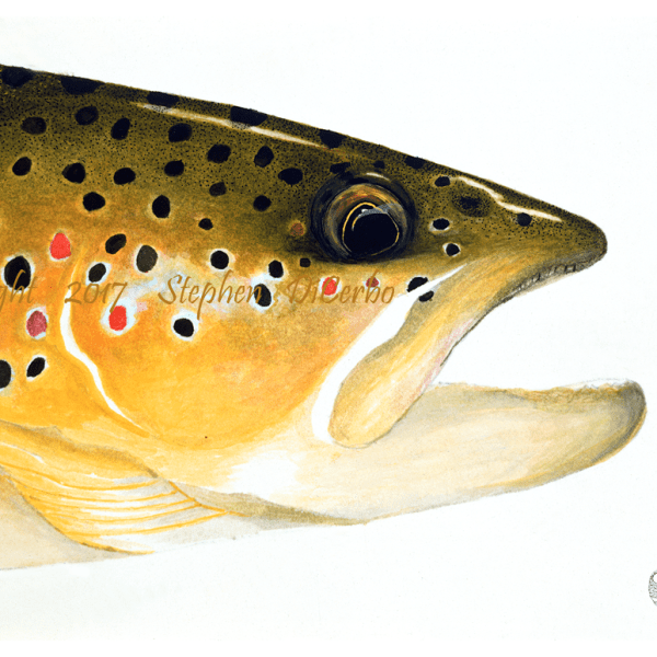 brown trout head study