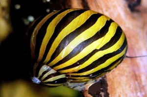 Zebra Nerite Snail (Neritina natalensis sp. zebra)