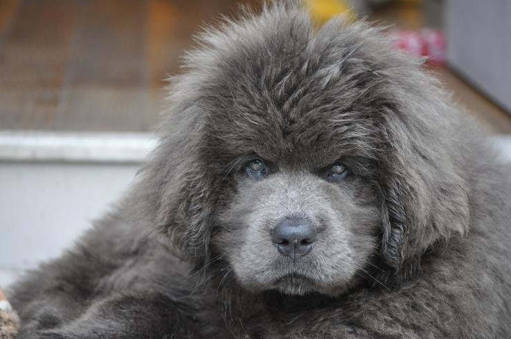 gray newfoundland dog
