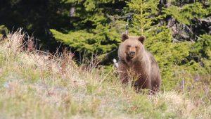 Björn i Tandåsen