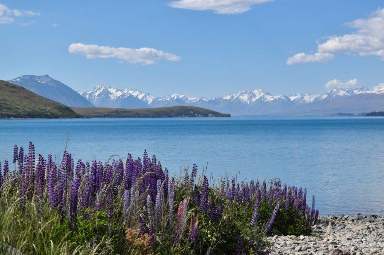 Purple lupins at Lake Ohau