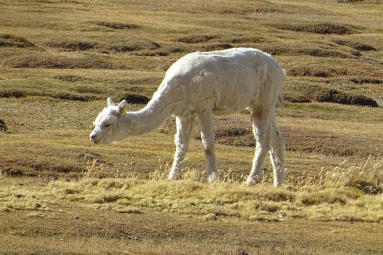 A llama frolicking at La Reserva de Llamas y Vicuňas