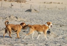 Two dogs playing at the beach.