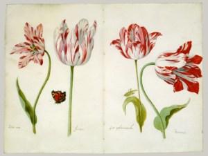 Four tulips - Story Snug