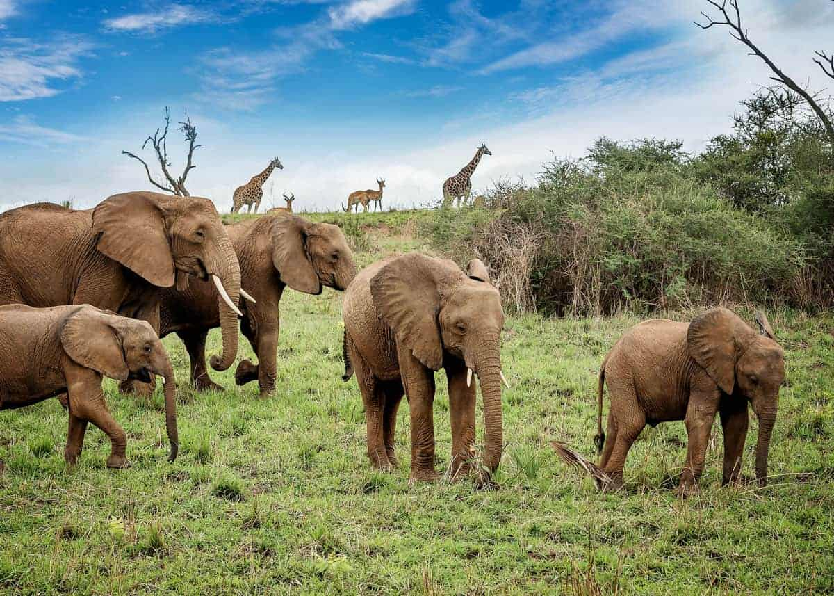 13 Fun Facts About African Bush Elephants Habitat Scientific Name Range Lifespan Storyteller Travel