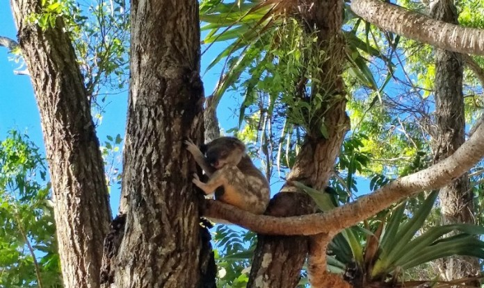 A little koala in the wild - Exploring the rock pools at Noosa National Park