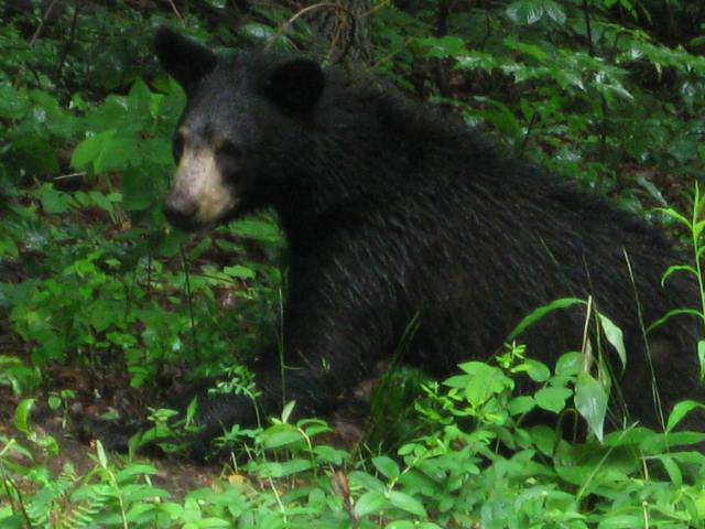 A bear spotted in Connie's backyard