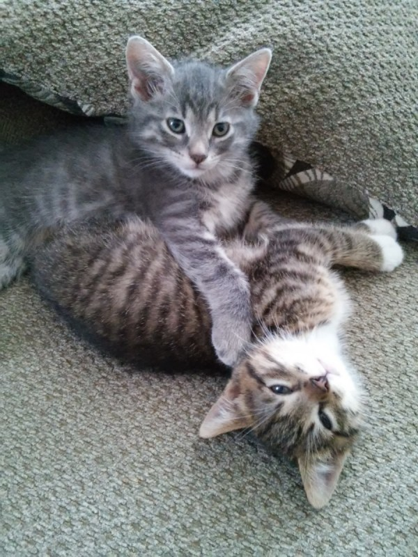 brother-kittens