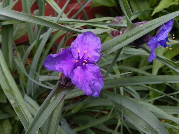 start-with-seed-growing-series-spiderwort