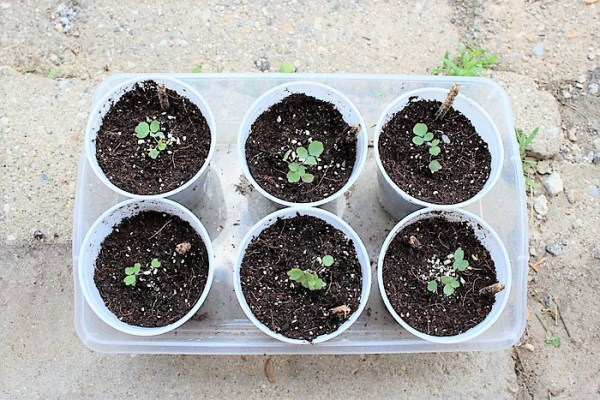 Tips for transplanting seedlings and hardening seedlings off outdoors | stowandtellu.com