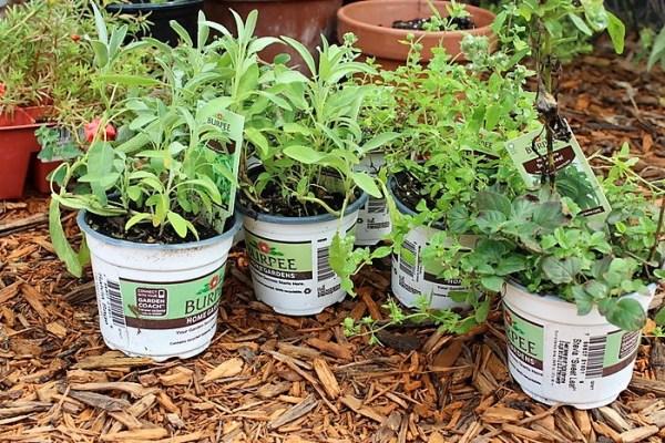 sage-sweet-marjoram-stevia