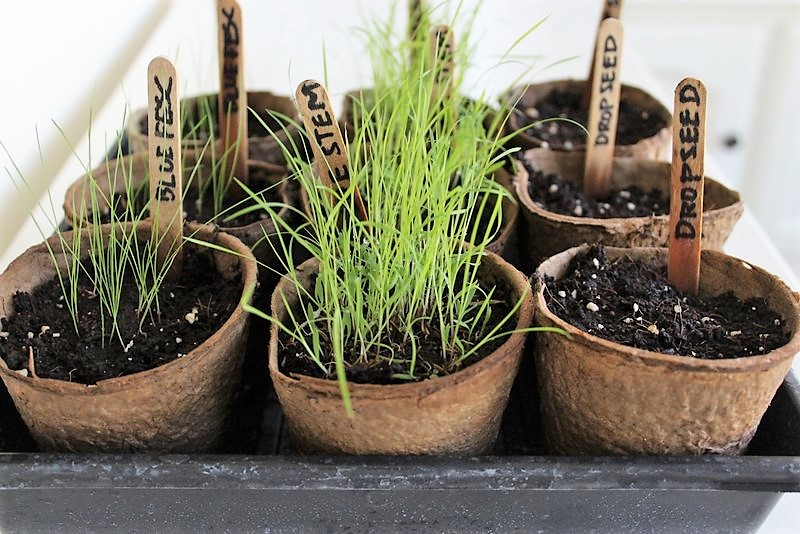 How to grow ornamental grass from seed stowtellu grow ornamental grass from seed how to start ornamental grass indoors stowandtellu workwithnaturefo