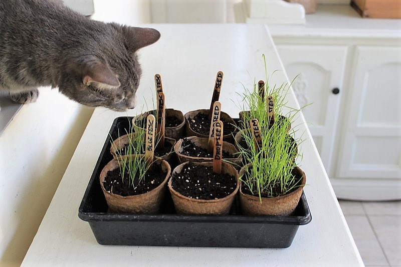 How to start prairie ornamental grass seed indoors | stowandtellu.com