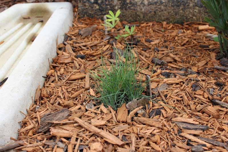 How to grow ornamental grass | ornamental grass clump seedling | stowandtellu.com