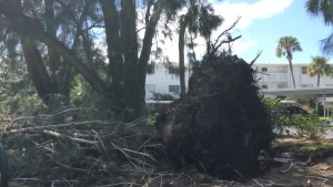 Force of Wind takes tree and roots down