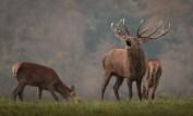 red-deer-in-mist