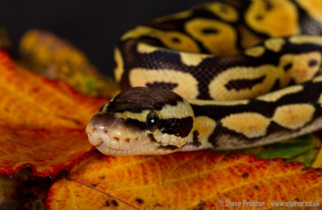 Pastel Royal Python (1)