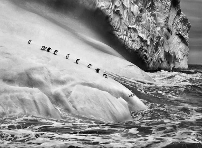 Sebastião Salgado, Chinstrap penguins on an iceberg, between Zavodovski and Visokoi islands, South Sandwich Islands, 2009, Gelatin silver print, 91.44 x 127 cm/36 x 50 inches © Sebastião Salgado/Amazonas Images