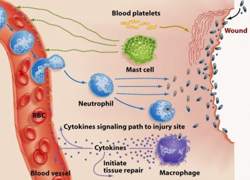 CB2 receptors modulate the immune response
