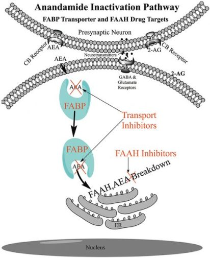 FAAH Inhibitor breakdown