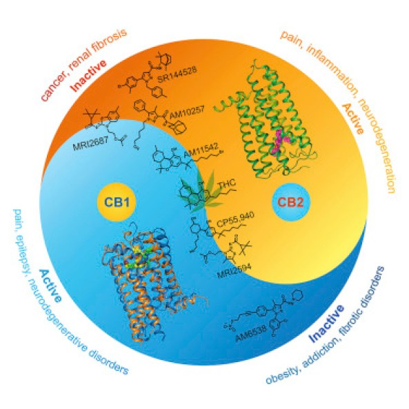 The CB2 and CB1 receptors are shown here with their 3-dimensional structures mapped. Down the center are the formulas for different agonists. The YinYang infographic shows how CB1 and CB2 modulate one another and how those respective activation levels relate to disease (in theory). Courtesy of the journal Cell.