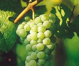 Baltasis vynuogių vynas