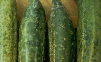 agurkų ligos