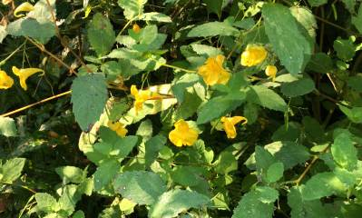 Gelbe Blüten am Weg
