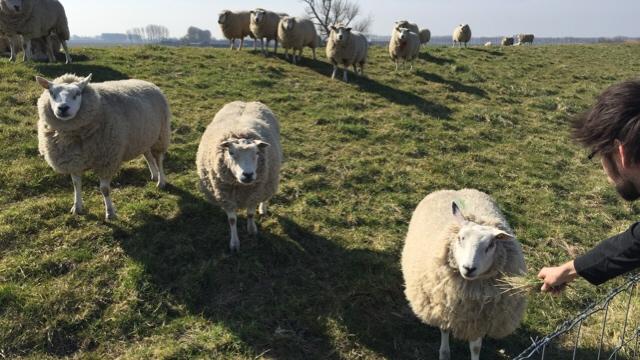 Schafe braakman