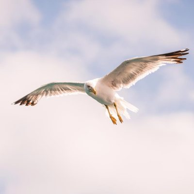 A Seagull in the air