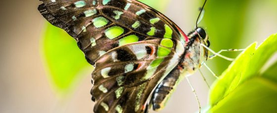 The Tailed Jay – Graphium Agamemnon