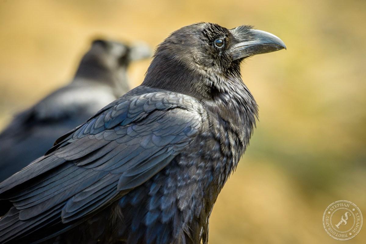 Kolkrabe (Corvus Corax) auf Fuerteventura. A common raven at Fuerteventura.