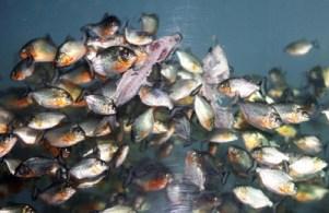 piranha-eat-cows-1