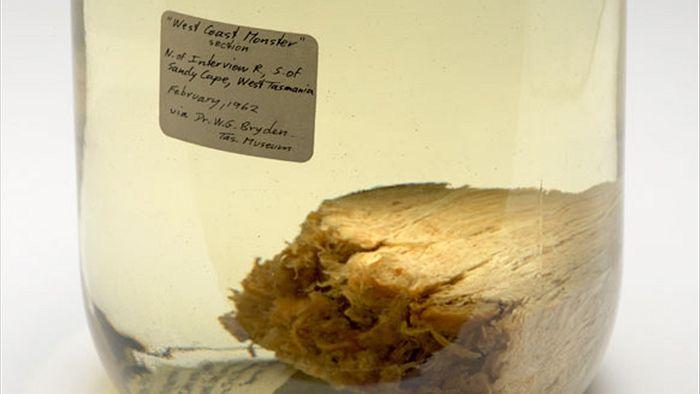 Δείγμα του πλάσματος. όπως φυλάσσεται ακόμα και σήμερα στο Μουσείο της Τασμανίας
